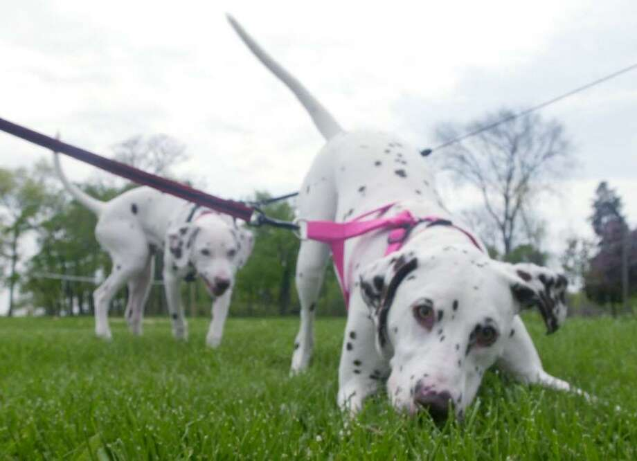 Jasmine, foreground, and Taffy behind her, nose around Cove Island Park in Stamford on April 3, 2002 The Dalmatians, who belonged to Bill and Lorna Fitzgerald, were enjoying a blustery spring day at the beach before the rain came. Photo: Andrew Sullivan / ST / SCNI