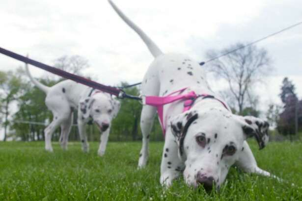 Jasmine, foreground, and Taffy behind her, nose around Cove Island Park in Stamford on April 3, 2002 The Dalmatians, who belonged to Bill and Lorna Fitzgerald, were enjoying a blustery spring day at the beach before the rain came.