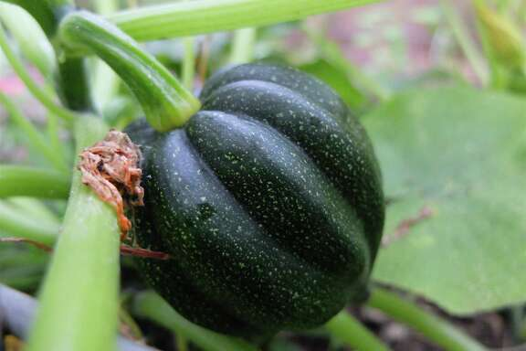 Acorn squash popped up in a perennial bed after it was fertilized with home-grown compost.