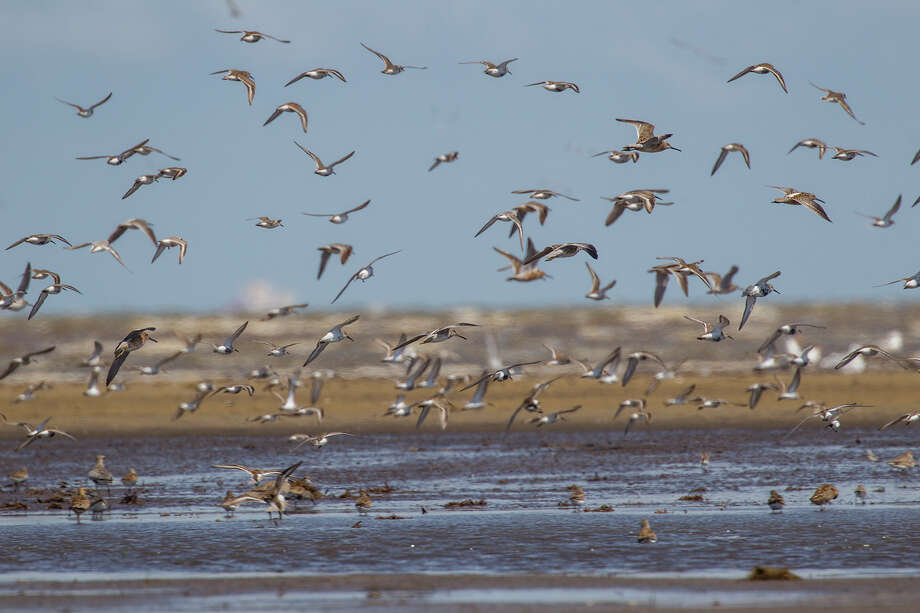 Visit the Houston Audubon Society's Bolivar Flats Shorebird Sanctuary this spring to see a multitude of birds along the mud-caked beach at the tip of the Bolivar Peninsula.  Photo Credit:  Kathy Adams Clark.  Restricted use. Photo: Kathy Adams Clark / Kathy Adams Clark/KAC Productions