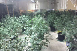Law enforcement authorities reportedly uncovered a marijuana-growing operation in San Jacinto County on April 21. Approximately 142 plants were recovered.