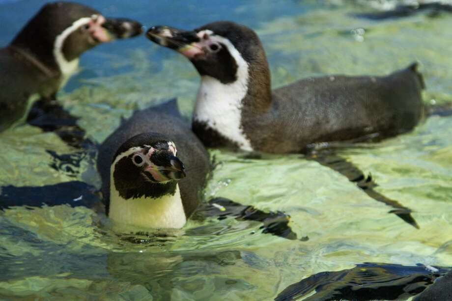 Moody Gardens offered the first sneak peek last week of a new Humboldt penguin exhibit.  These warm-climate penguins are found in the coastal areas of Peru and Chile.