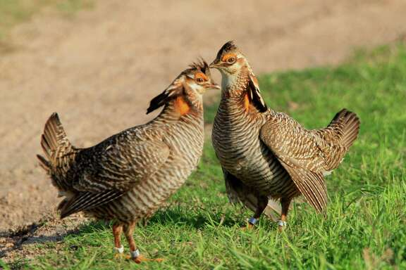 Attwater Prairie Chickens at the APC National Wildlife Refuge