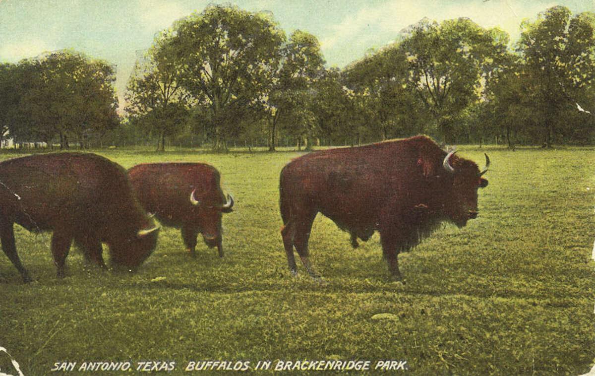 San Antonio, Texas. Buffalos in Brackenridge Park. (1911) Source:edwardsaquifer.net