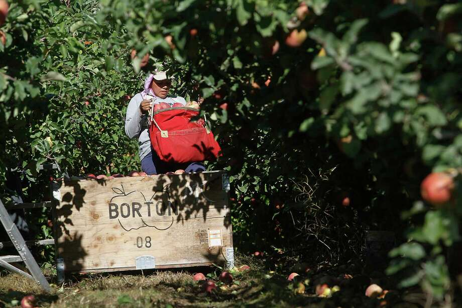 FILE - In this Oct. 3, 2014, file photo, a worker picks apples at Flat Top Ranch in Walla Walla County, Wash. Harvesting the vast fruit orchards of Eastern Washington each year requires thousands of farmworkers, many of them working illegally in the United States. That system could eventually come to an end as at least two companies are rushing to get robotic fruit picking machines to market. (Bob Brawdy/The Tri-City Herald via AP, File) Photo: Bob Brawdy, MBR / The Tri-City Herald