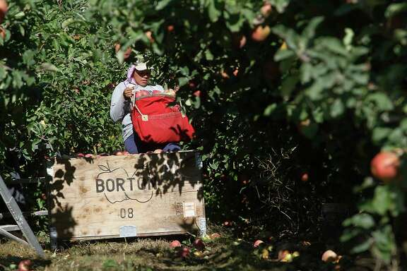 FILE - In this Oct. 3, 2014, file photo, a worker picks apples at Flat Top Ranch in Walla Walla County, Wash. Harvesting the vast fruit orchards of Eastern Washington each year requires thousands of farmworkers, many of them working illegally in the United States. That system could eventually come to an end as at least two companies are rushing to get robotic fruit picking machines to market. (Bob Brawdy/The Tri-City Herald via AP, File)