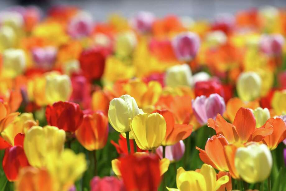 Tulips bloom in East Capitol Park on Friday, April 28, 2017, in Albany, N.Y. Albany's annul Tulip Festival is held May 13-14 in Washington Park. (Will Waldron/Times Union) Photo: Will Waldron