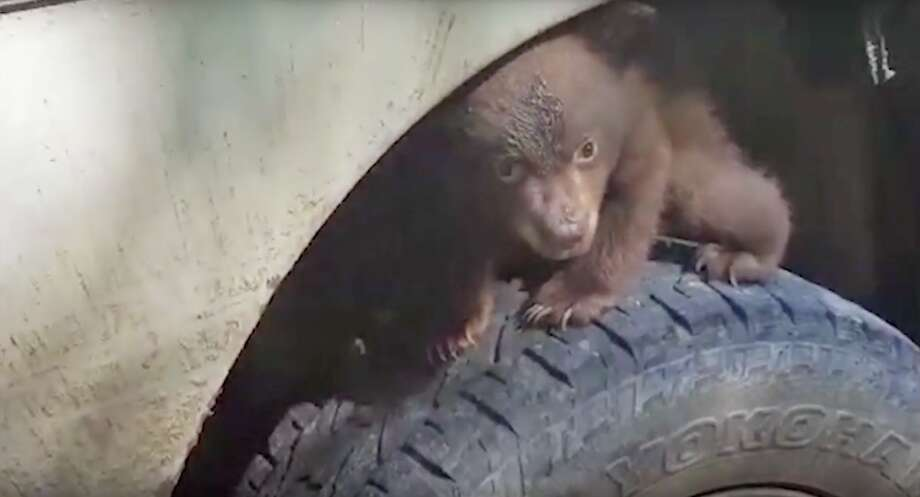 A baby black bear stumbled upon a forestry crew in Klamath, California, and promptly claimed the vehicle's front wheel as its throne. Photo: Screen Grab Yurok Tribe Video
