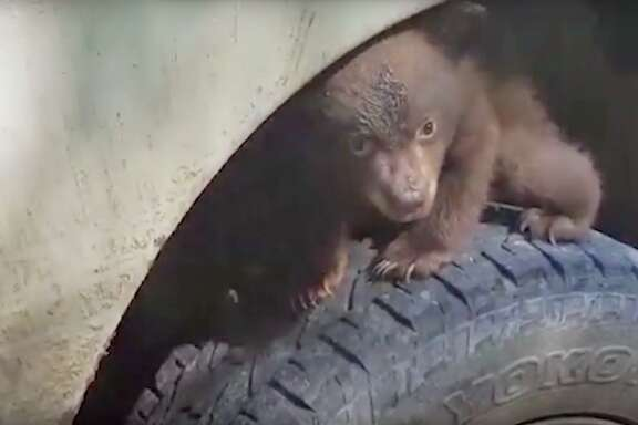 A baby black bear stumbled upon a forestry crew in Klamath, California, and promptly claimed the vehicle's front wheel as its throne.