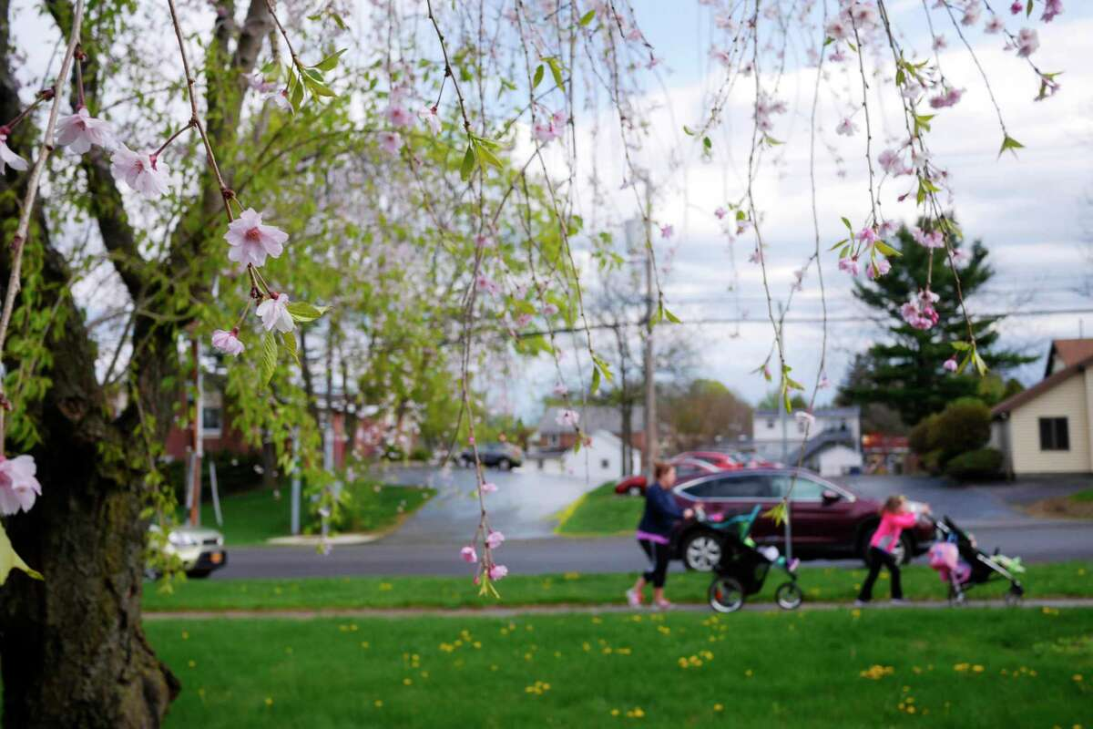 Cherry trees are in bloom, seen here at the 9th Annual Cherry Blossom festival and 5K Race/Walk for ALS at Congregation Gates of Heaven on Sunday, April 30, 2017, in Schenectady, N.Y. The event raises money for St. PeterOs ALS Regional Center. (Paul Buckowski / Times Union)