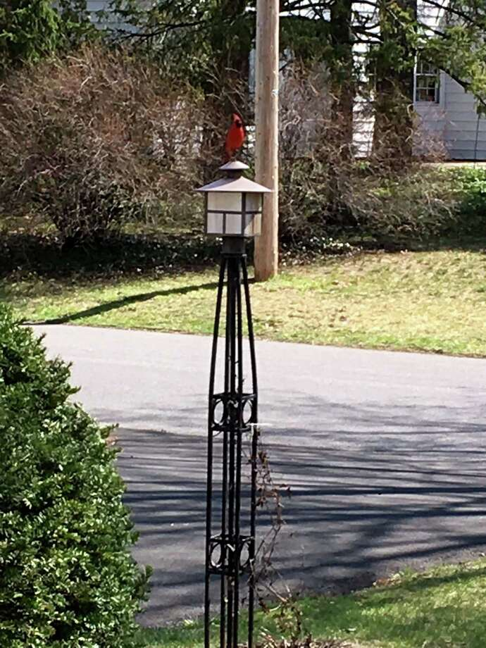Joan McCarthy captured this cardinal perched atop a light outside her Delmar, N.Y., home over the Easter weekend. (Joan McCarthy)