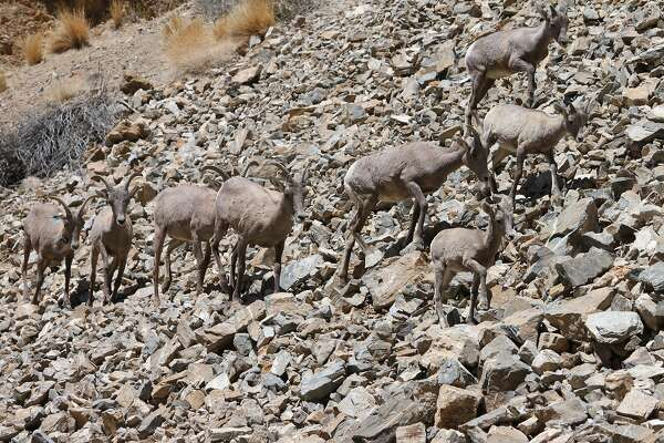 Female Sierra Nevada bighorn sheep lead yearlings and a lamb across a rocky slope in the front country of the Eastern Sierra near Bishop
