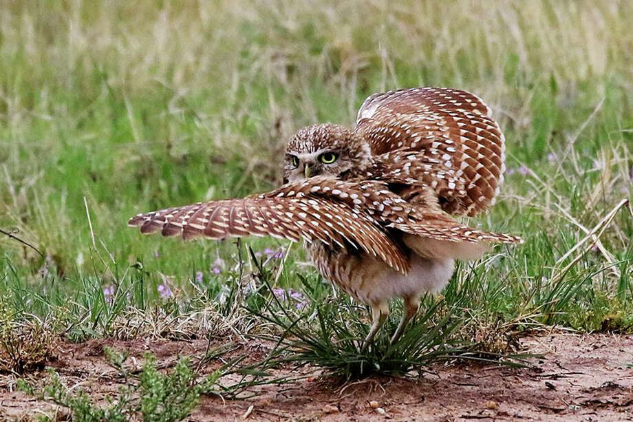A burrowing owl looks over its shoulder while ruffling its features during a dance across the road from the rural residence of Connie Barnett in southwestern Briscoe County. Since they appeared in the field earlier this year, this burrowing owl and others have been entertaining and posing for the talented photographer who has shared several of her photographs with the Herald. / Do Not duplicate photos without my written consent. CBARNETT