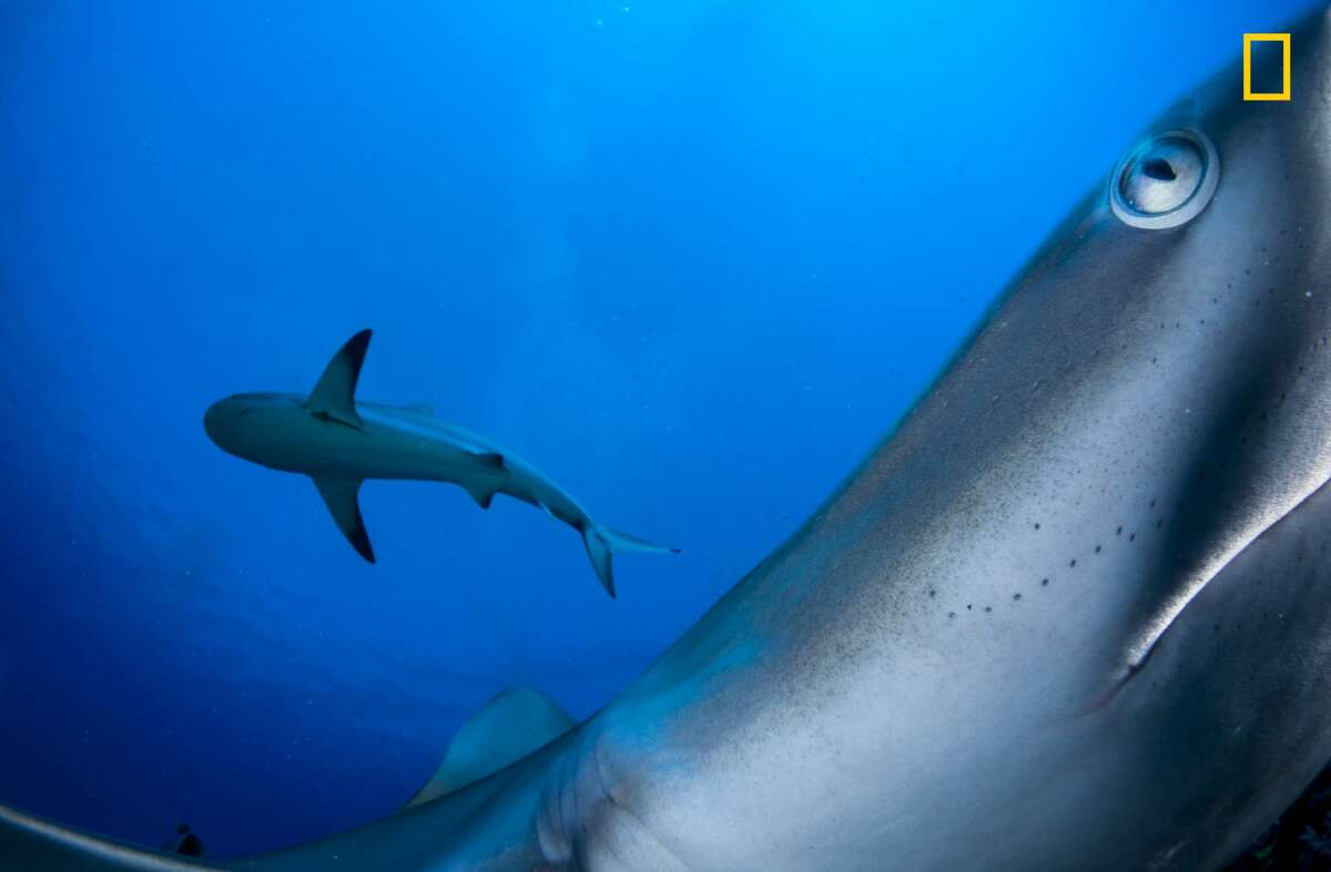 Caribbean reef sharks are usually shy so I placed my camera on a rock where I know they frequent and used a remote trigger to click away as they came in and bumped my camera around.