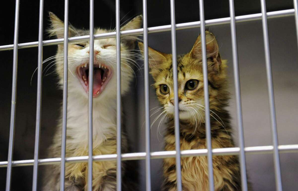 Kittens at the Mohawk Hudson Humane Society on Wednesday, Oct. 29, 2014, in Menands, N.Y. (Lori Van Buren / Times Union archive)