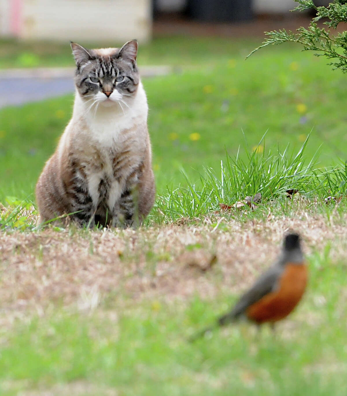 A cat watches a robin from as distance on Friday, April 29, 2016 in Albany, N.Y. (Lori Van Buren / Times Union)