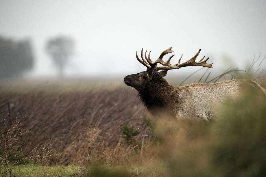 A bull Tule Elk emerges from the bushes at the Grizzly Island Wildlife Area in Suisun, Calif., on Monday, December 21, 2015. The tule elk at Grizzly Island in the Lower Delta have been propagating like champs in the past 35 years. In the late 1970s, the herd started with with just a handful of animals, but as the population expanded at Grizzly Island, individuals were darted, transplanted and used as seed stock to start new herds. The number of elk has expanded from that handful to provide the seed for 21 herds with 3,800 elk around the state. Once numbering close to 500,000, they were all but extinct, but because of the Department of Fish and Wildlife's transplant program, they are thriving. Photo: Carlos Avila Gonzalez, The Chronicle