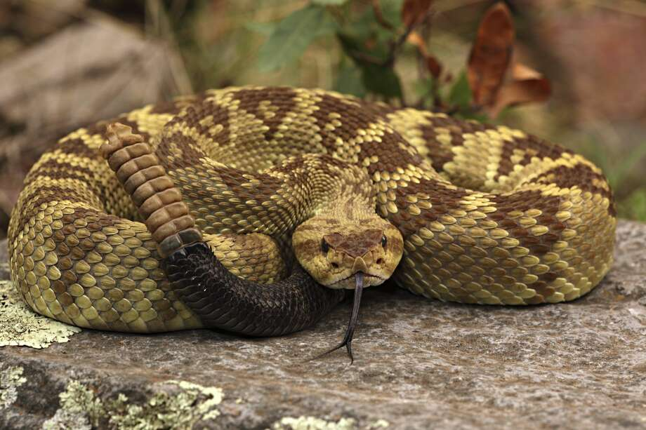 Encounters between people and snakes doesn't always need to end with a dead snake. Texas is home to over 115 different species and subspecies of snakes, but only about 15 of those are potentially harmful to humans.Learn how to identify the many snakes that reside in Texas ... Photo: John Cancalosi/Getty Images