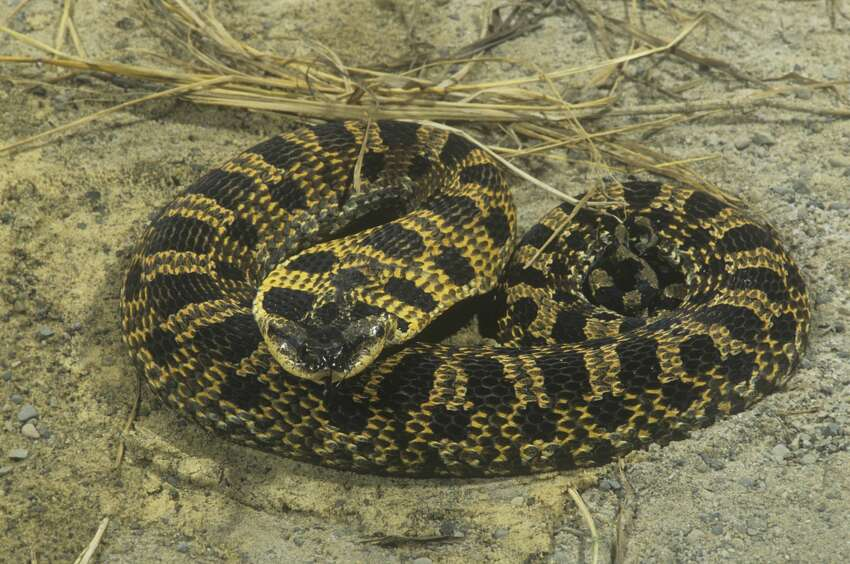 Eastern Hognose SnakeNon-venomousCharacteristics:These harmless snakes have broad heads and pointed up-turned snouts. They are usually tan, black or brown but can have orange, yellow, gray, olive or red coloring. Hognose snakes are known as