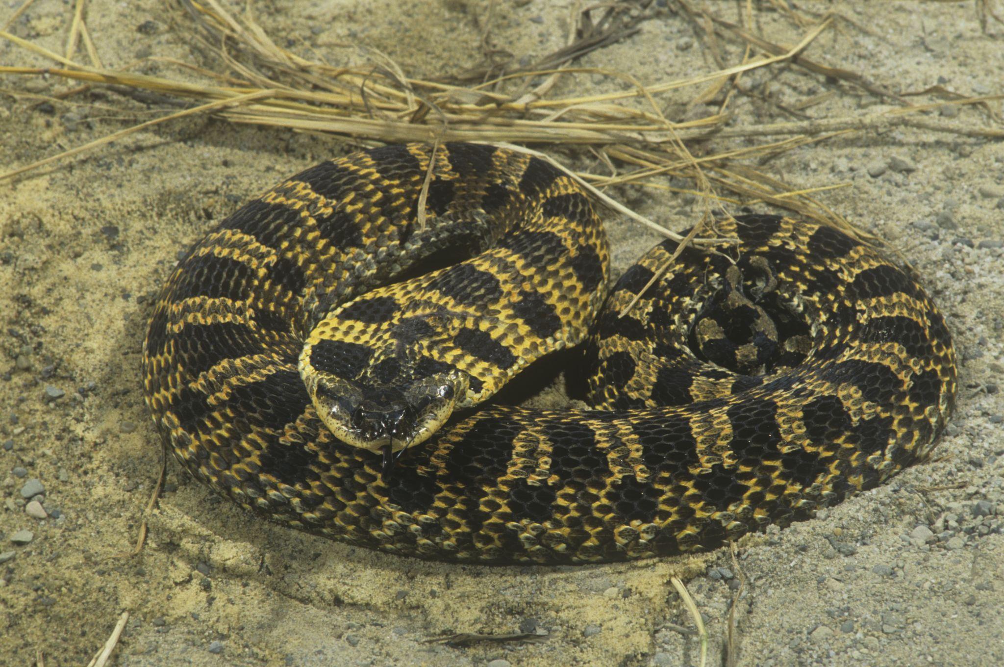 11 Non Venomous Snakes You Want In Your Backyard