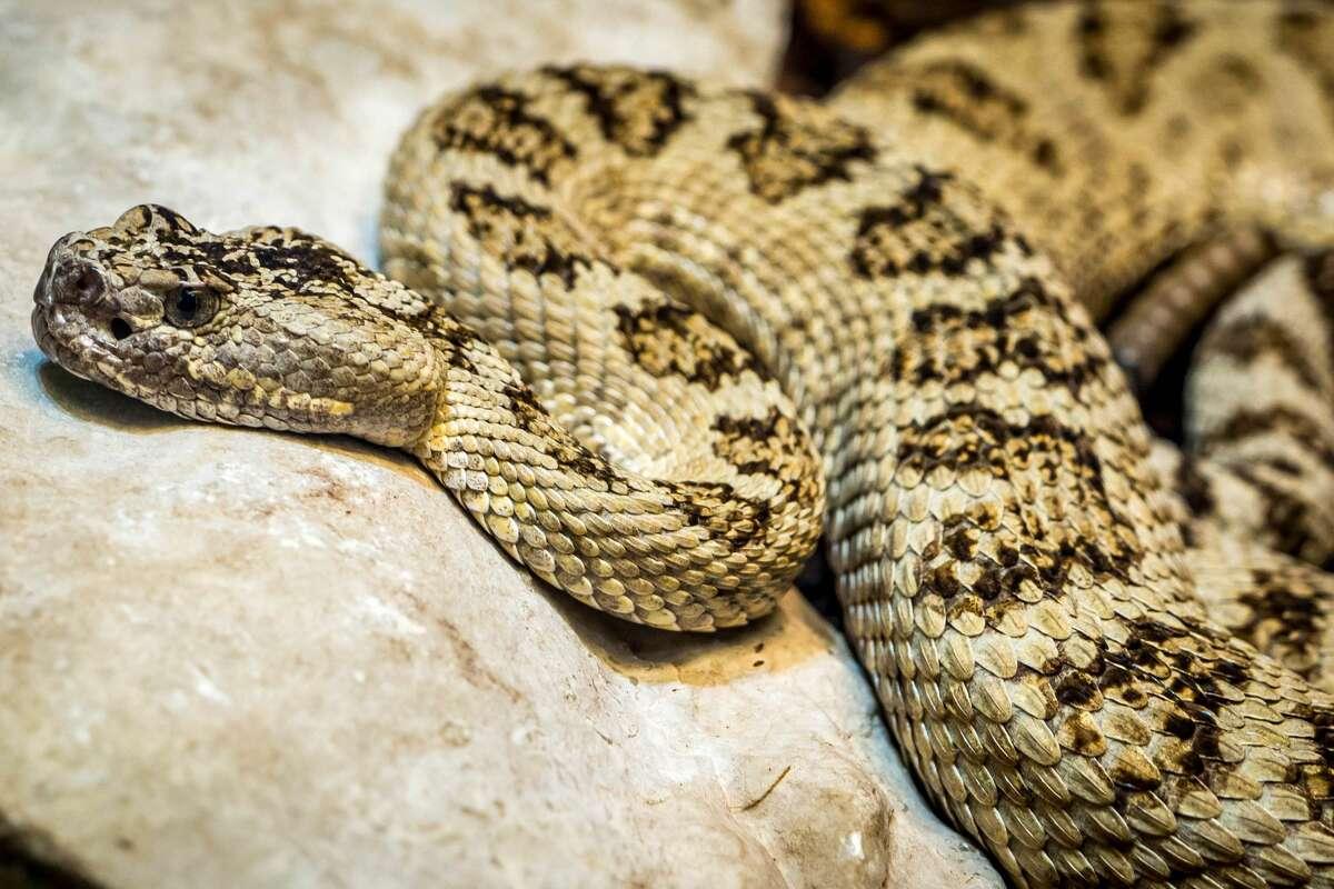 Prairie rattlesnake.