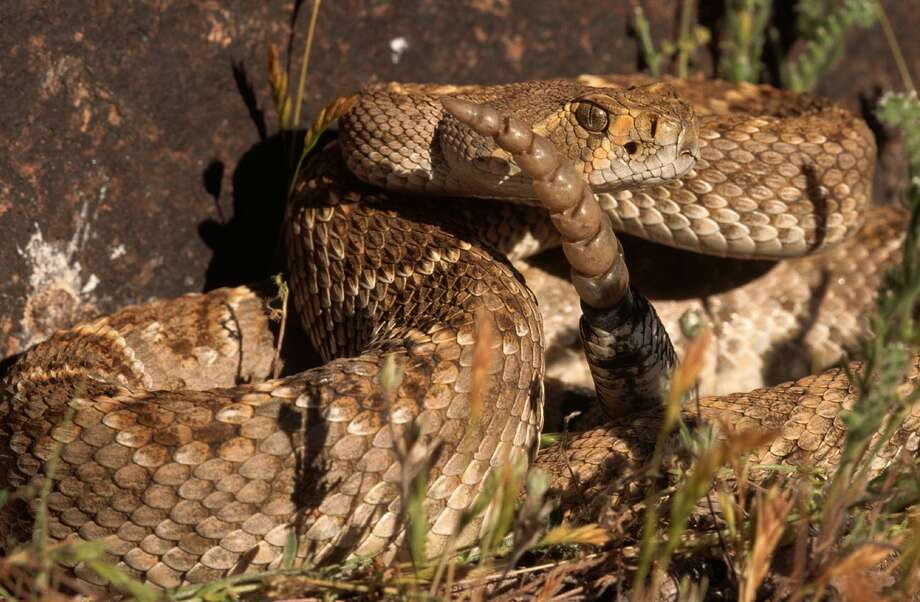 A rattlesnake bit a 68-year-old Marin resident on Saturday morning at the College of Marin Indian Valley campus in Novato, Calif. Photo: Joe McDonald/Getty Images