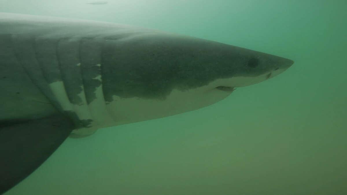 Juvenile white sharks swim off the coast of Manhattan Beach, Calif. during the summer of 2015.