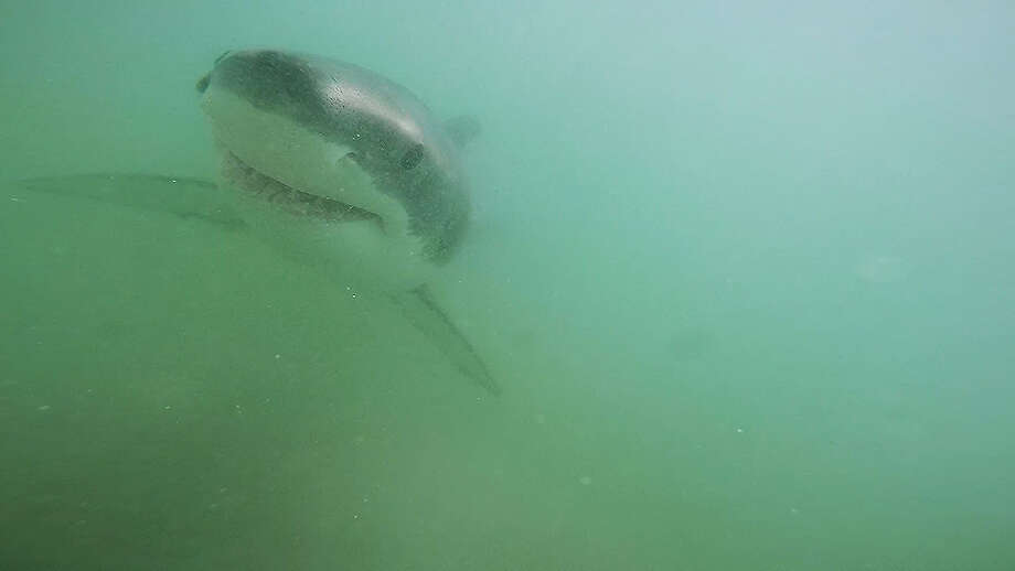 Great White Shark Nurseries Discovered Off Southern California