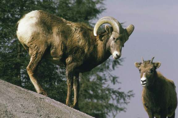 BISHOP, CA - 1990:  Two rare and endangered big horn sheep are seen on the slopes of the Eastern Sierra Mountain range in this 1990 Bishop, California, photo. (Photo by George Rose/Getty Images)