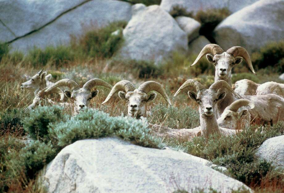 FILE--This is an undated photo of bighorn sheep in the Sierra Nevada mountains near Mt. Baxter, Calif. The animals are on the brink of being eliminated from the Sierra. As of last summer, only about 150 bighorns were left in the entire range. (AP Photo/John D. Wehausen) Photo: JOHN D WEHAUSEN / </p> <p><em>Associated Press / AP