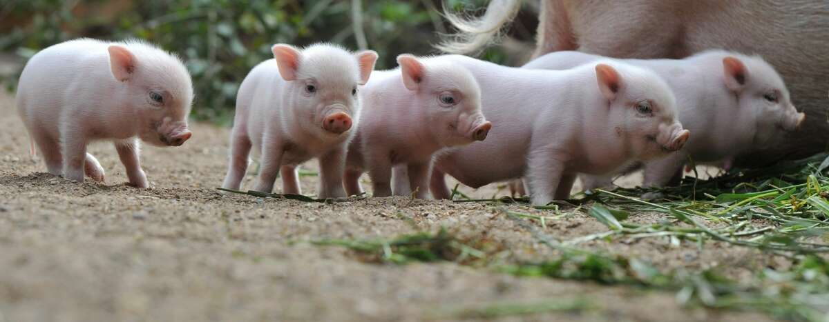 Five mini-pig piglets stand around their mother at the zoo in Hanover, central Germany.