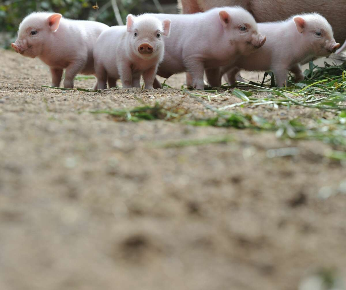 Four mini-pig piglets stand around their mother at the zoo in Hanover, central Germany.