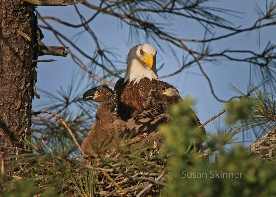 Susan Maxwell Skinner discovered the bald eagles along the American River Bike Trail near Folsom more than a year ago and has watched the family grow over the last several months. Photo: Susan Skinner