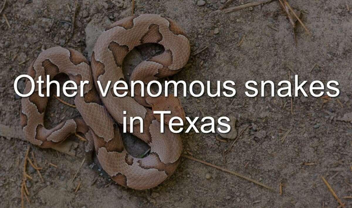 Venomous snakes in Texas.