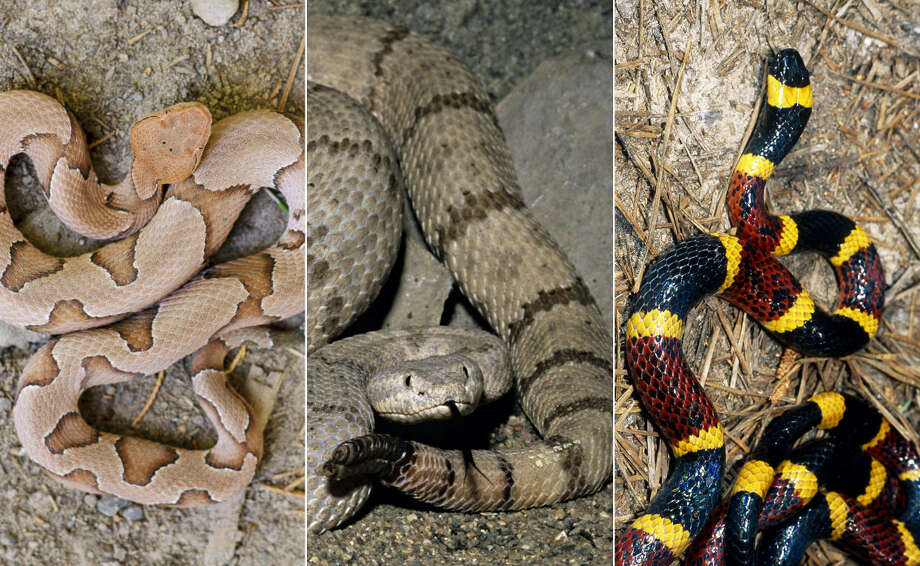 """What kind of snake is this?"" is a common question around the Houston area during the spring and summer months as more slithering creatures come out of the shadows.Continue clicking to see the snakes that have been found in the Houston area, both venomous and non-venomous, and some of their key features.  Photo: Getty Images"