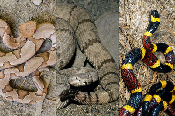 """""""What kind of snake is this?"""" is a common question around the Houston area during the spring and summer months as more slithering creatures come out of the shadows.  Continue clicking to see the snakes that have been found in the Houston area, both venomous and non-poisonous."""