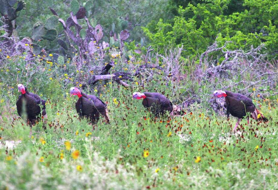 A quartet of 2-year-old Rio Grande turkey toms simultaneously gobble in reaction to a hen call. Texas' 2017 spring turkey season, which closes May 14 in much of the state, has benefited from an abundance of young adult gobblers. Photo: Shannon Tompkins /Houston Chronicle