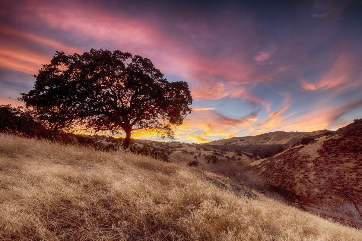 Oak Prevalent in these counties: Marin, Sonoma, Napa, Solano, Contra Costa, Alameda, Santa Clara, Santa Cruz, San Mateo, San Francisco
