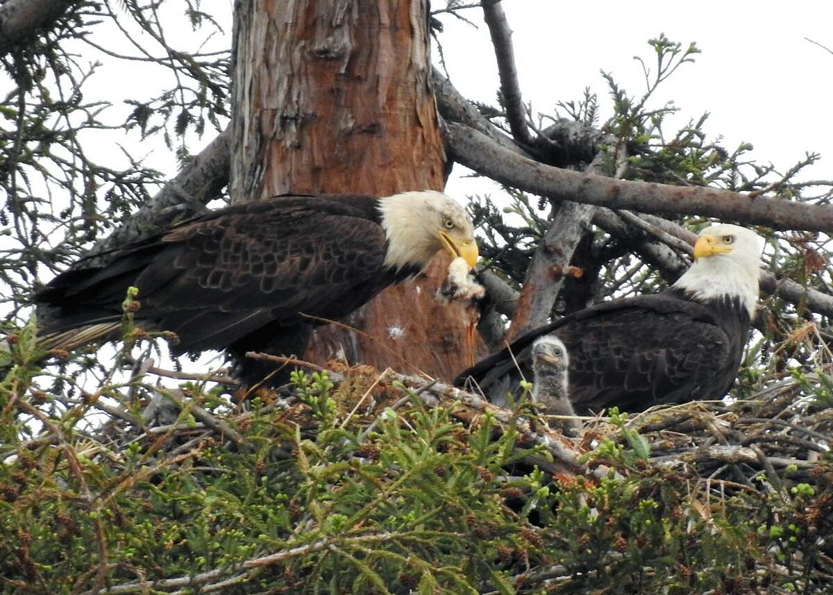 Two bald eagles and their recently hatched chick have taken up residence in a nest aboveCurtnerElementary School in Milpitas. The eagleshave attracted bird lovers and shutterbugs since they touched down in Milpitas December.