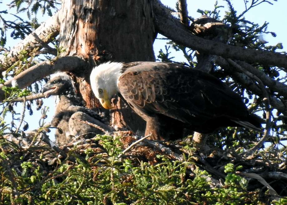 Two bald eagles and their recently hatched chick have taken up residence in a nest above Curtner Elementary School in Milpitas. The eagles have attracted bird lovers and shutterbugs since they touched down in Milpitas December. Photo: Courtesy Jyoti Chalpe