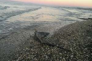 Over the past seven weeks, the Pelagic Shark Research Foundation has responded to hundreds of reports of washed up leopard sharks.