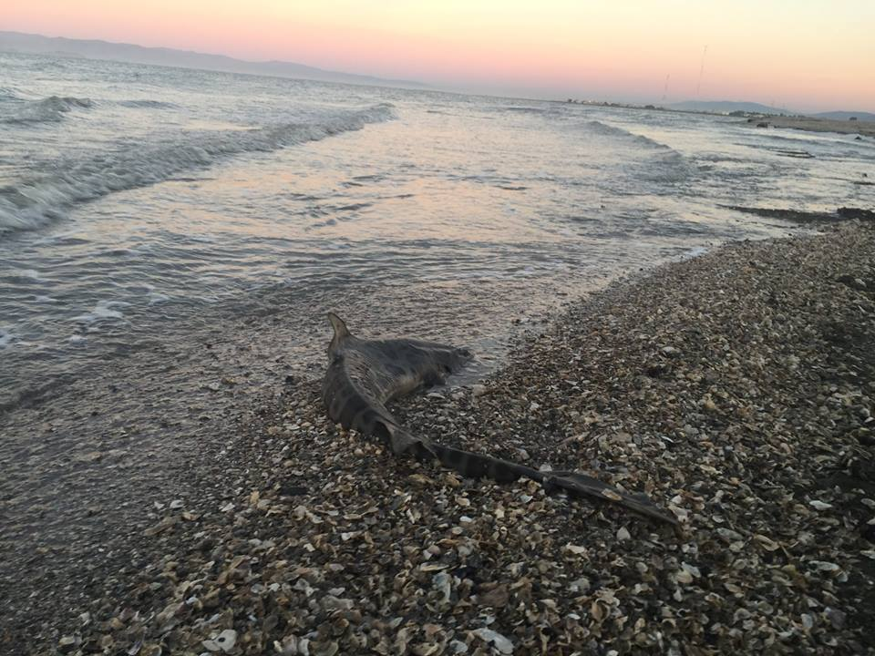 Hundreds of dead sharks washing up on Bay Area shores