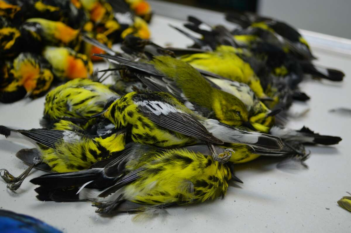 In May 2017, nearly 400 migratory birds were found dead outside the American National Building in Galveston, the result of collisions with the building or from exhaustion related to light confusion.