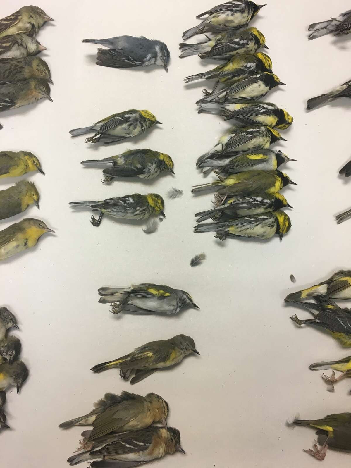 Photos of various birds that died Wednesday, May 3, after crashing into a high-rise building in Galveston. Animal Control Officer Josh Henderson said a total of 398 birds crashed into the building, and three birds survived.