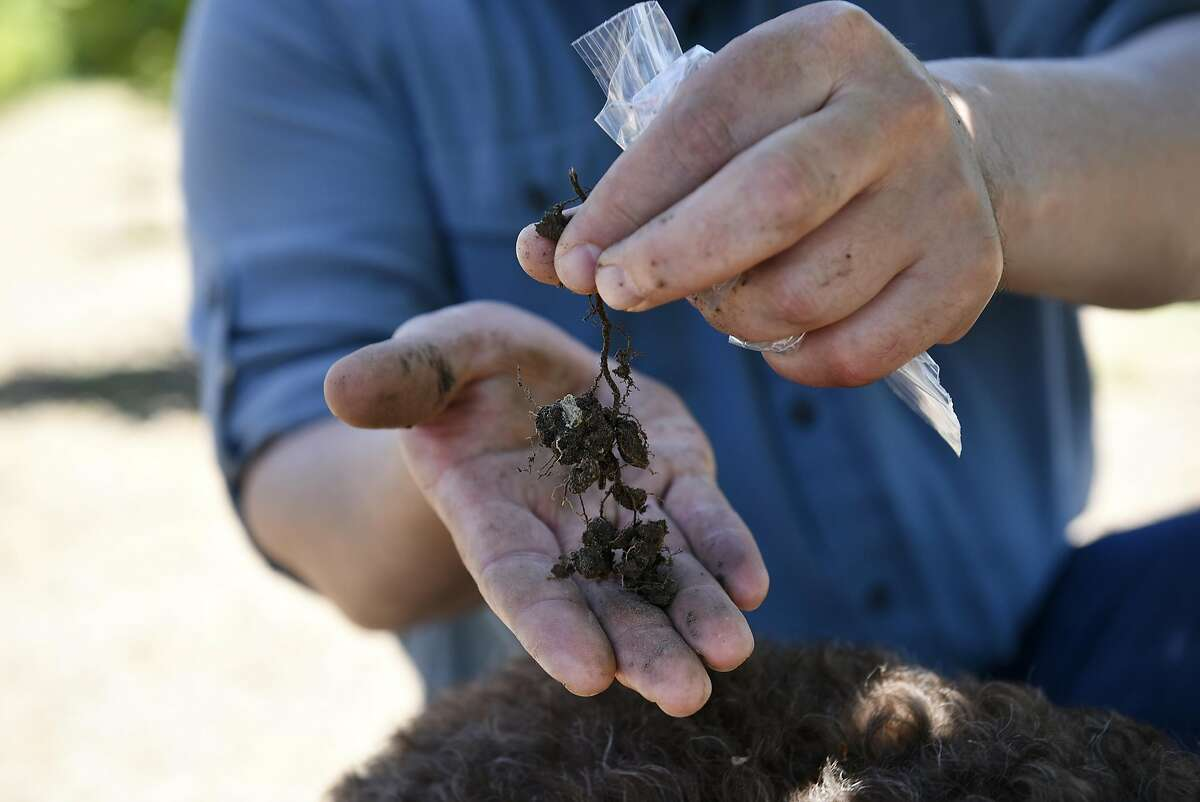 Charles Lefevre, the West Coast�s leading truffle expert, holds up a piece of root as he takes a soil sample from the base of a hazel nut tree on an orchard in Santa Rosa, CA, on Thursday May 5, 2017.