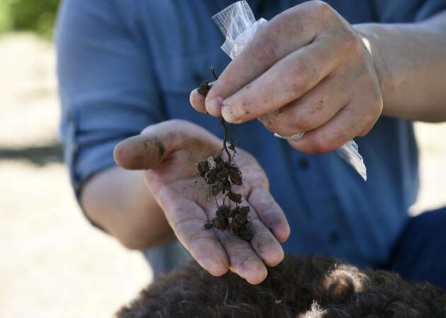 The truffle pioneers of Wine Country