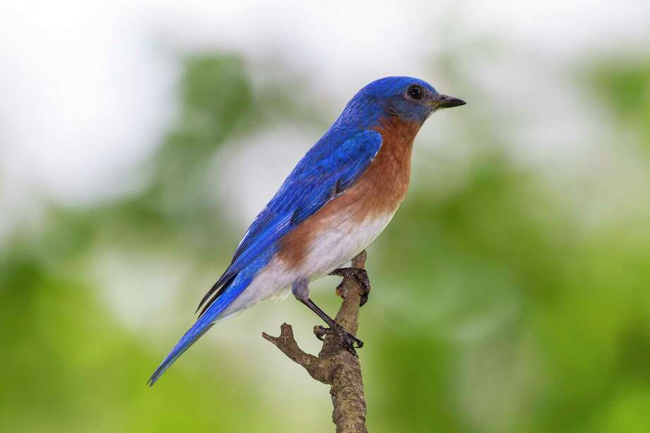 Eastern bluebirds in area backyards and gardens are raising chicks or brooding a new clutch of eggs.  Photo Credit:  Kathy Adams Clark.  Restricted use. Photo: Kathy Adams Clark / Kathy Adams Clark/KAC Productions