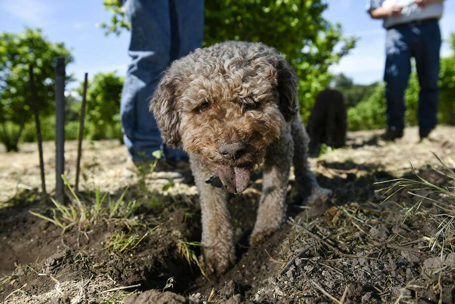 Charles Lefevre's truffle dog Mocha, a Lagotto breed, digs at the base of a hazelnut tree in an orchard in Santa Rosa. Photo: Michael Short, Special To The Chronicle