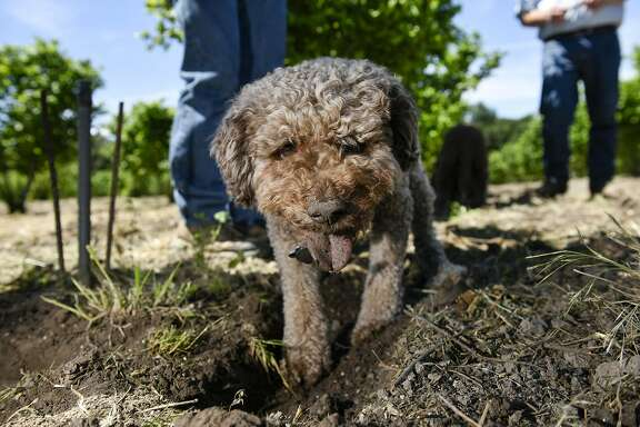 Charles Lefevre's truffle dog Mocha digs at the base of a hazel nut tree on an orchard in Santa Rosa, CA, on Thursday May 5, 2017.