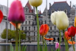 Rain gathers on tulips at the Empire State Plaza on Friday, May 5, 2017, in Albany, N.Y. (Will Waldron/Times Union)